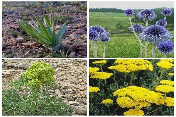 نسخه توسعه اقتصادی در دامن طبیعت، بهشت گیاهان دارویی شکوفا نشد