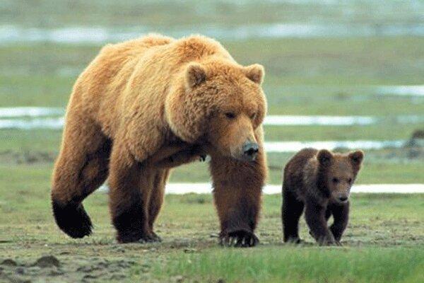 مشاهده 2 قلاده خرس قهوه ای در ارتفاعات ملکشاهی