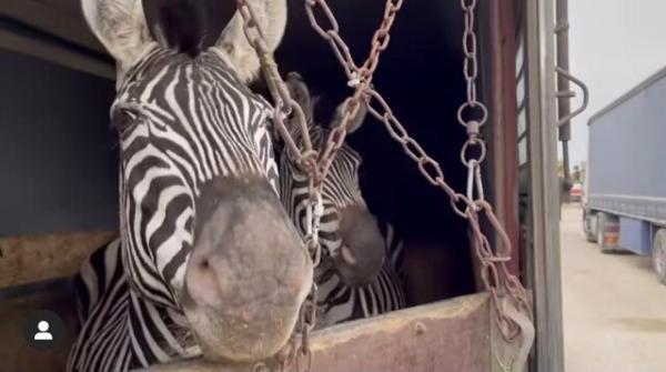 مرگ گورخر آفریقایی در باغ وحش صفادشت