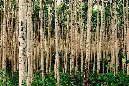 زراعت چوب در 42 هزار هکتار از اراضی ملی و مستثنیات گیلان